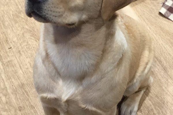 English Yellow Labrador