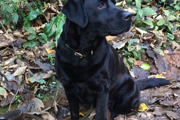 Black Labrador Devon