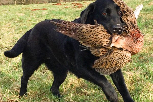 Ottie carries a fine retrieve